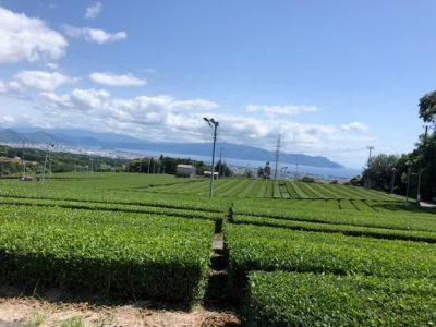 この時期の茶畑